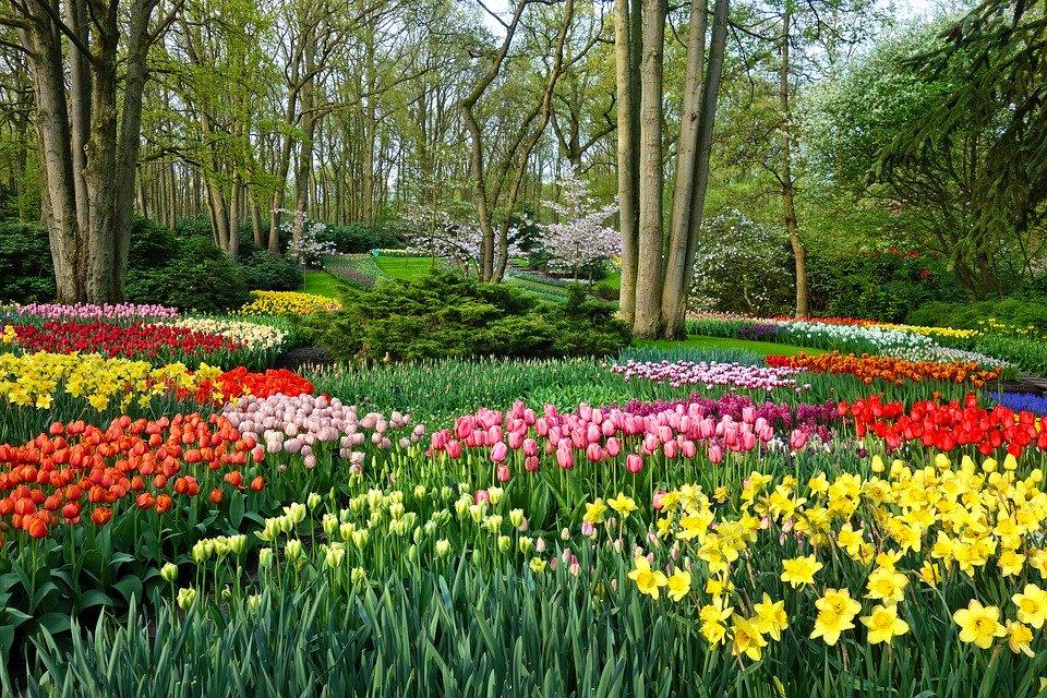tulipany ogród